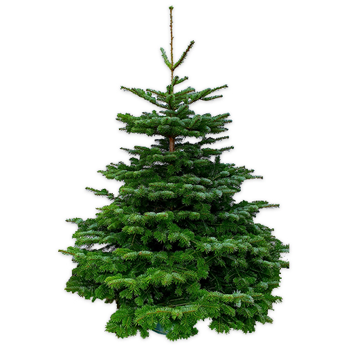 juletræ normann normannsgran