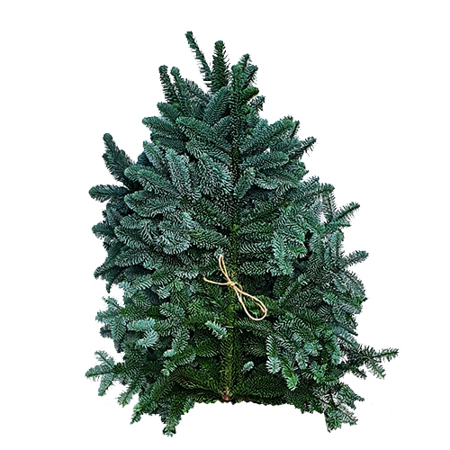 Pyntegrønt i nobilis fra Mosegaarden